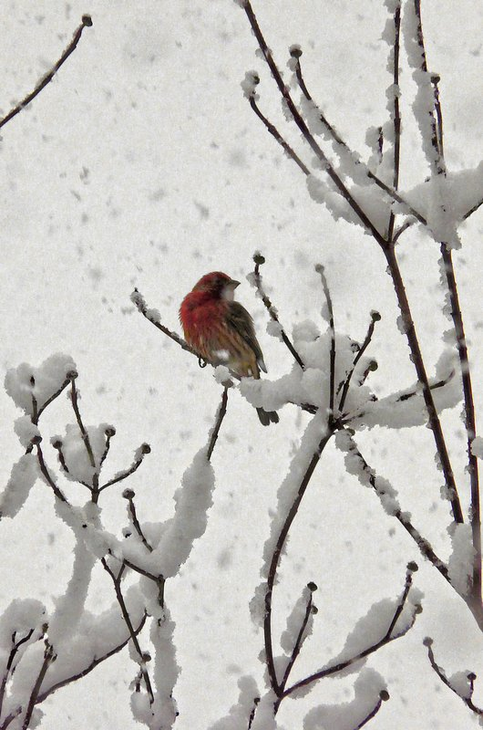 - Little red bird in a snowy tree - by Tony Karp - Techno-Impressionist Museum - Techno-Impressionism